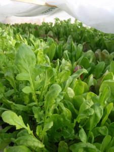 new greens in hoop house