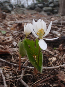 Bloodroot springing up in our woods