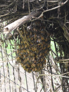Our swarm of bees