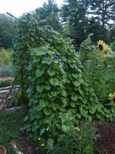morning glories--2012 crop