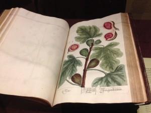 Elizabeth Blackwell's beautiful figs